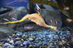Weedy seadragon Royalty Free Stock Photos