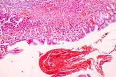 Weefsel van Maag onder microscopisch, Fysiologie van de maag voor onderwijs in laboratorium royalty-vrije stock afbeeldingen