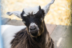 Week old baby goat Stock Images