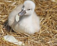 Week old baby Mute Swan nibbles on a piece of lettuce as it lays on its nest of straw Stock Photography