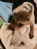 4 Week Old Baby Raccoon royalty free stock photography