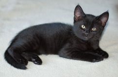 10-week -old Black Kitten on Blanket Stock Image