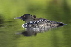 A week-old Common Loon chick preens its feathers while riding on. A week-old Common Loon chick Gavia immer preens its feathers while riding on its mother`s back Royalty Free Stock Image