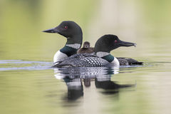 A week-old Common Loon chick rides on its mother`s back as its f Royalty Free Stock Images