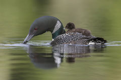 A week-old Common Loon chick  rides on its mother`s back on a Ca. Nadian lake as she scouts the water below Royalty Free Stock Photography