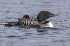 A week-old Common Loon chick rides on its mother`s back while pa. A week-old Common Loon chick Gavia immer is partially tucked under its mother`s wing while Stock Photo