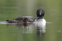 A week-old Common Loon chick swims next to its mother on a Canad. A week-old Common Loon chick Gavia immer swims alongside its mother on a Canadian lake stock images