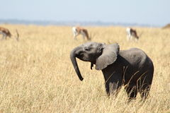 2 week old elephant Royalty Free Stock Photo