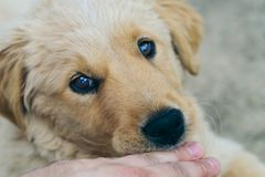 Pappy, Golden Retriever biting hand. 16-week old Golden Retriever puppy biting hand of his owner in the yard stock photography
