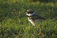 1 week old killdeer royalty free stock photography