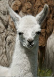 Week Old Llama 002. Portrait of a one week old baby llama Stock Photography