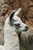 Week Old Llama Royalty Free Stock Photography