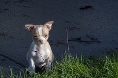 8 week old male chihuahua puppy standing on the sidewalk looking at the grass. 8 week old male chihuahua puppy standing outside on the sidewalk looking at grass stock photos