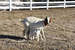 Baby goat having a meal with mother goat on a beautiful spring day in the pasture stock images