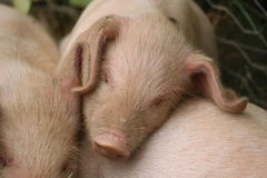 13 week old piglet asleep. A 13 week old piglet snuggled on top of the other piglets Stock Photo