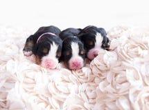 Week Old Puppies Royalty Free Stock Image