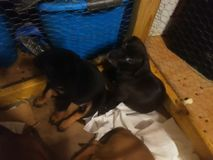 Puppies. 5 week old puppies playing royalty free stock image