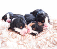Week Old Puppies Stock Image