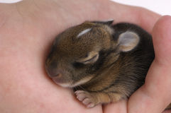 Week Old Rabbit Royalty Free Stock Photos