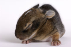 Week Old Rabbit Royalty Free Stock Images