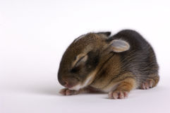 Week Old Rabbit Stock Image