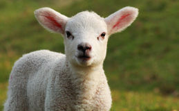 Week Old Texel Cross Lamb Royalty Free Stock Photos