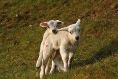Free Week Old Twin Lambs Stock Photography - 37963252