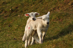 Week Old Twin Lambs. One week old twin texel cross lambs running around and jumping on each other stock photography