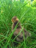 Week oude grijze kip op het gazon Stock Foto