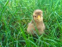 Week oude grijze kip op het gazon Royalty-vrije Stock Fotografie