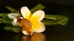 Weekdier die op geïsoleerde het blad lopen van aloëvera, zwarte achtergrond met de tropische bloem van frangipaniplumeria Slakser stock footage