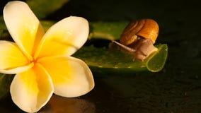 Weekdier die op geïsoleerde het blad lopen van aloëvera, zwarte achtergrond met de tropische bloem van frangipaniplumeria Slakser stock video