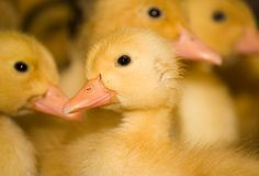 The weekly fluffy ducklings Royalty Free Stock Image
