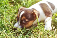 7 weeks old Jack Russell terrier puppy playing in sun lit grass, detail on head looking into camera. royalty free stock images