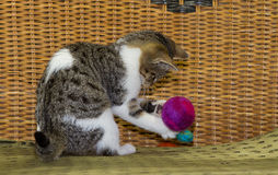 12 weeks old kitten is playing with a ball. 12 weeks old kitten is playing intensive with a felted ball Royalty Free Stock Photos