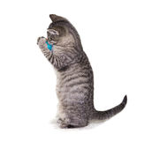 12 weeks old kitten is plyin with an ball. 12 weeks old kitten is plyin with an felted ball, standing upright, on white background Stock Images