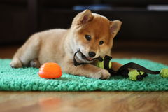 8 weeks old red shiba inu puppy so cute Stock Photos