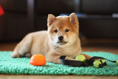 8 weeks old red shiba inu puppy so cute Royalty Free Stock Photography