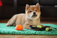 8 weeks old red shiba inu puppy so cute stock images
