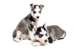 4 weeks old siberian husky puppies Stock Images