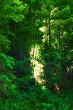 Weelderig bos stock afbeeldingen