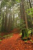 Weelderig Californische sequoiabos Stock Afbeeldingen