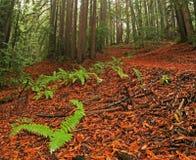 Weelderig Californische sequoiabos Stock Foto