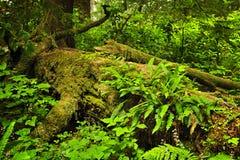 Weelderig gematigd regenwoud stock foto's