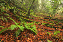 Weelderig gematigd regenwoud Stock Afbeelding