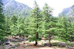 Weelderig groen himalayan pijnboombos stock fotografie