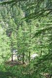 Weelderig groen himalayan pijnboombos, gangotri, India Royalty-vrije Stock Afbeeldingen