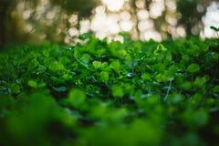 Weelderig groen tapijt van klaver dichte omhooggaand Stock Fotografie
