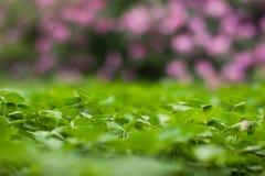 Weelderig groen tapijt van klaver dichte omhooggaand Stock Afbeelding