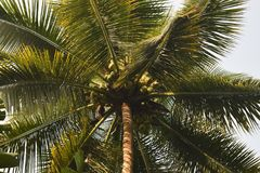 Weelderig kokosnotenfruit Royalty-vrije Stock Afbeeldingen